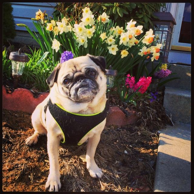 Spring pug
